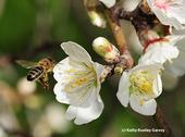 A honey bee heading toward almond blossoms. (Photo by Kathy Keatley Garvey)