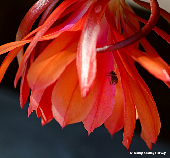 A jumping spider on an orchid cactus, Epiphyllum. (Photo by Kathy Keatley Garvey)