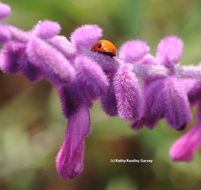 A ladybug (lady beetle) graces salvia. (Photo by Kathy Keatley Garvey)