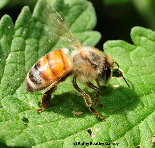 This honey bee is doing poorly. (Photo by Kathy Keatley Garvey)