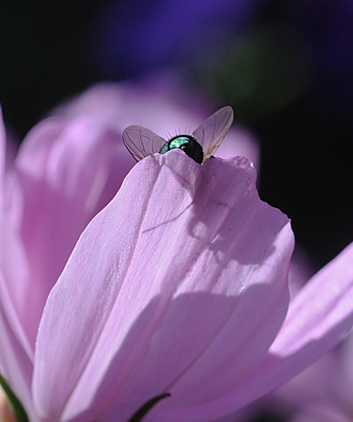 Blow Fly on Cosmos