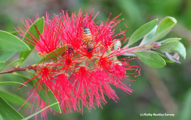 Honey bee on a bottlebrush at the Haagen-Dazs Honey Bee Haven. (Photo by  Kathy Keatley Garvey)
