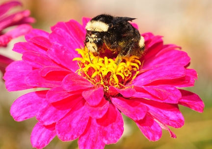 A yellow-faced bumble bee on a zinnia. (Photo by Kathy Keatley Garvey)