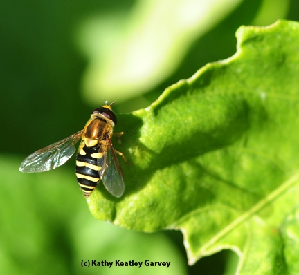 A hover fly, aka flower fly or syrphid fly, soaking up sunshine. (Photo by Kathy Keatley Garvey)