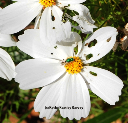 A spotted cucumber beetle and a green metallic sweat bee sharing a cosmos. (Photo by Kathy Keatley Garvey)