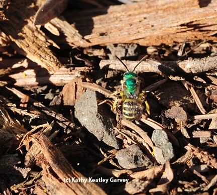 Close-up of a male green metallic sweat bee. (Photo by Kathy Keatley Garvey)
