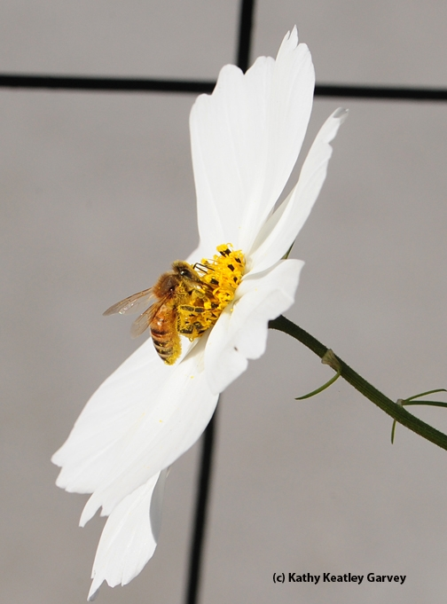 Honey bee visiting a cosmos. (Photo by Kathy Keatley Garvey)
