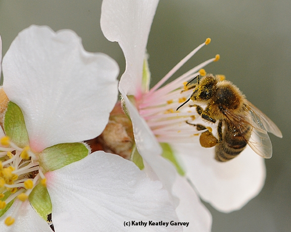 When February arrives, honey bees will be out pollinating the almonds. (Photo by Kathy Keatley Garvey)