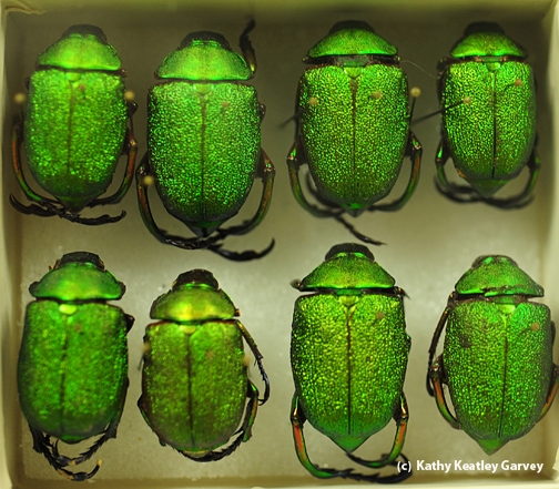 These jewel beetles will be displayed at the Bohart Museum's open house. (Photo by Kathy Keatley Garvey)