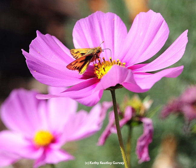 A skipper on a cosmos. (Photo by Kathy Keatley Garvey)