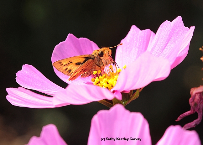 Close-up of a skipper. (Photo by Kathy Keatley Garvey)