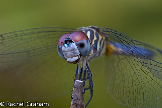 The image of a blue dasher, captured by Rachel Graham of UC Davis, appears in the Entomological Society of America's 2014 World of Insects Calendar.