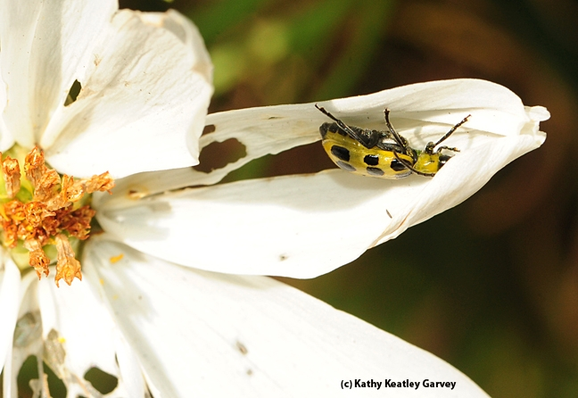 Close-up of the spotted cucumber beetle. (Photo by Kathy Keatley Garvey)