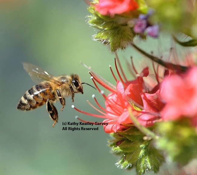 A honey bee heading for a tower of jewels, Echium wildpretii. (Photo by Kathy Keatley Garvey)