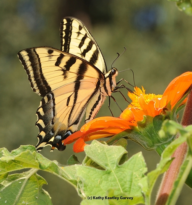 A Western tiger swallowtail on a Mexican sunflower. (Photo by Kathy Keatley Garvey)