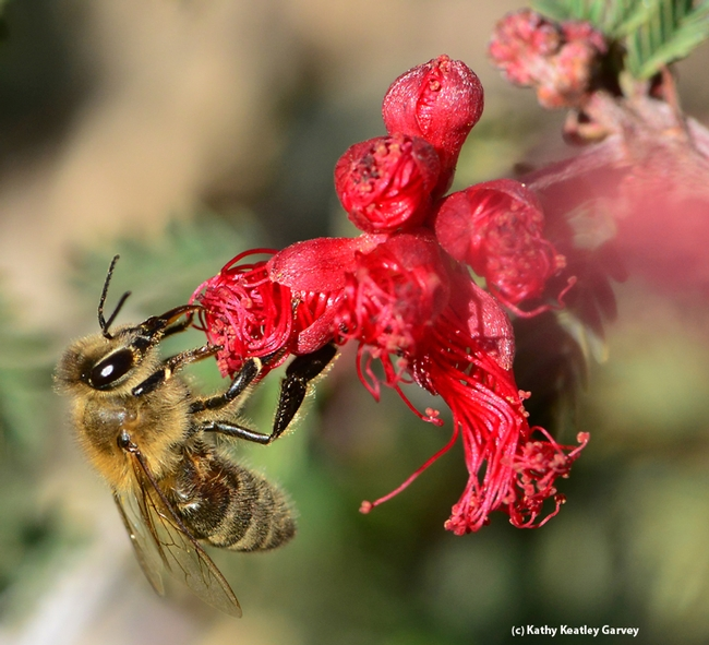 Honey bee gathering nectar on Calliandra californica, aka Baja fairy duster. (Photo by Kathy Keatley Garvey)