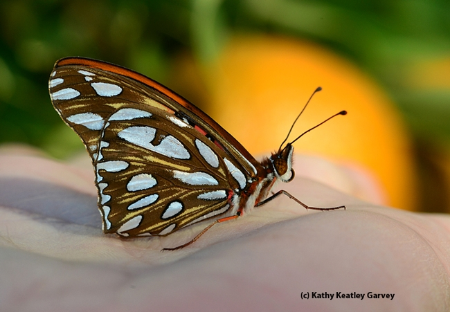 Newly emerged Gulf Fritillary butterfly. (Photo by Kathy Keatley Garvey)