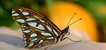 Newly emerged Gulf Fritillary butterfly. (Photo by Kathy Keatley Garvey) for Bug Squad Blog