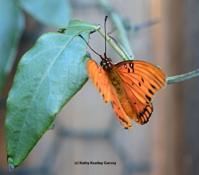 A brief bit of sunlight, and the newly emerged Gulf Frit fluttered its wings. (Photo by Kathy Keatley Garvey)