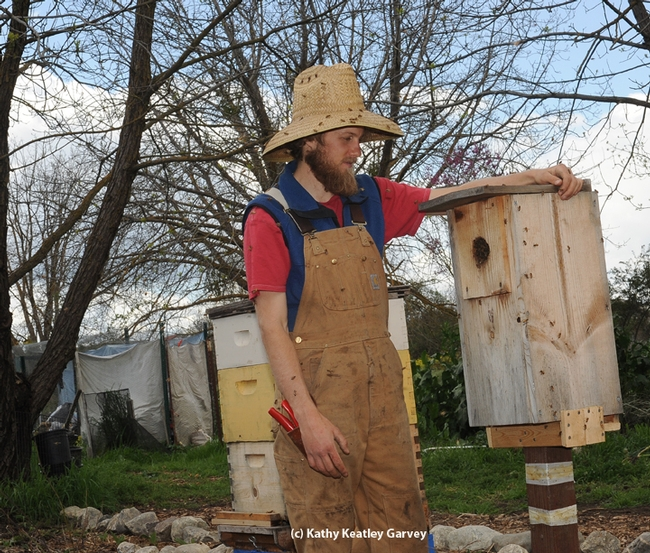 This wood duck box is being used as a bee hive in The Bee Sanctuary on the UC Davis campus. Examining it is Derek Downey who directs The Bee Collective and The Bee Sanctuary. (Photo by Kathy Keatley Garvey)