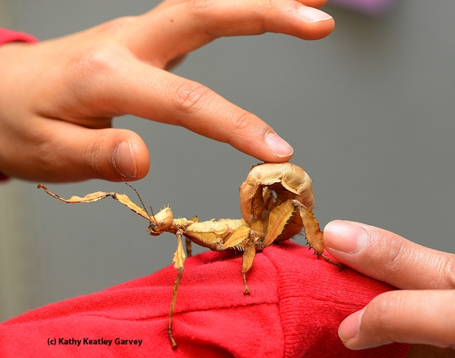 Hands reach out to touch the Australian walking stick. (Photo by Kathy Keatley Garvey)
