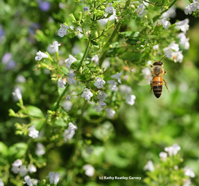 A honey bee foraging in Melissa's Garden. (Photo by Kathy Keatley Garvey)