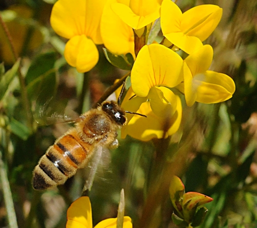 A HONEY BEE nectars flowers on the grounds of the Marshall (Calif.) Post Office in Marin County. (Photo by Kathy Keatley Garvey)
