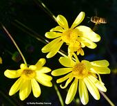 Honey bee heading for Euryops. (Photo by Kathy Keatley Garvey)