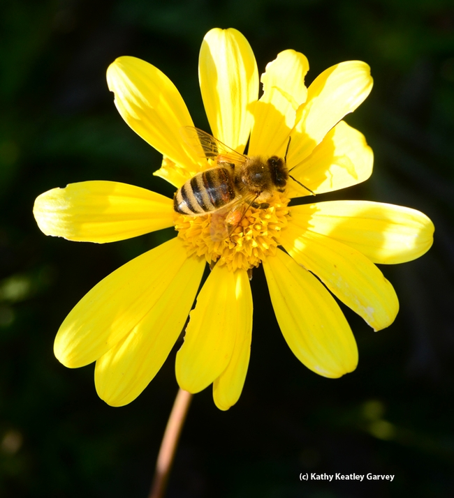 A perfect match: Euryops and a bee. (Photo by Kathy Keatley Garvey)