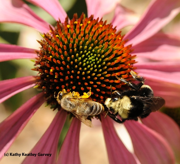 A honey bee and yellow-faced bumble bee sharing a coneflower. (Photo by Kathy Keatley Garvey)