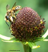 Male leafcutter bee, Megachile fidelis, as identified by Robbin Thorp, on coneflower. (Photo by Kathy Keatley Garvey)
