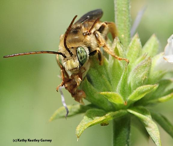 Male longhorned bee, Melissodes communis, as identified by Robbin Thorp. (Photo by Kathy Keatley Garvey)