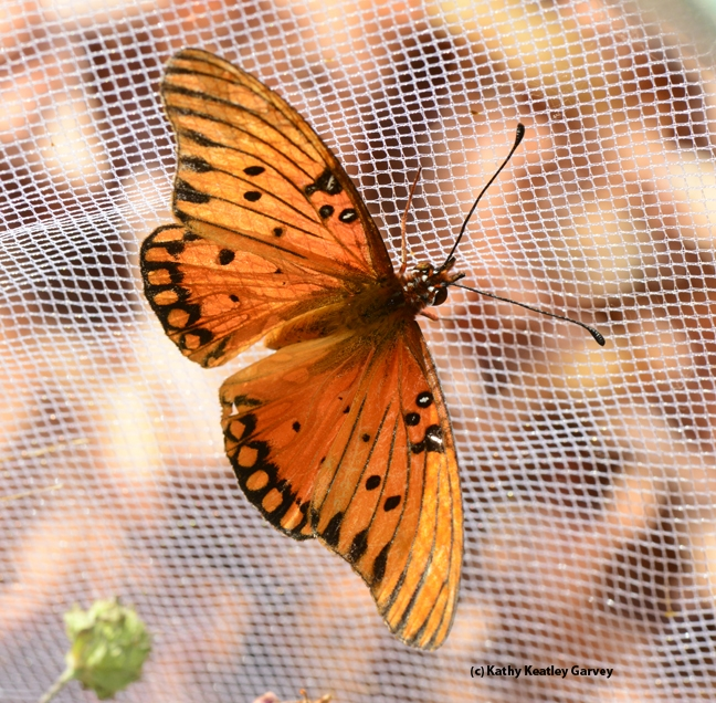 A newly emerged Gulf Fritillary, Agraulis vanillae. (Photo by Kathy Keatley Garvey)