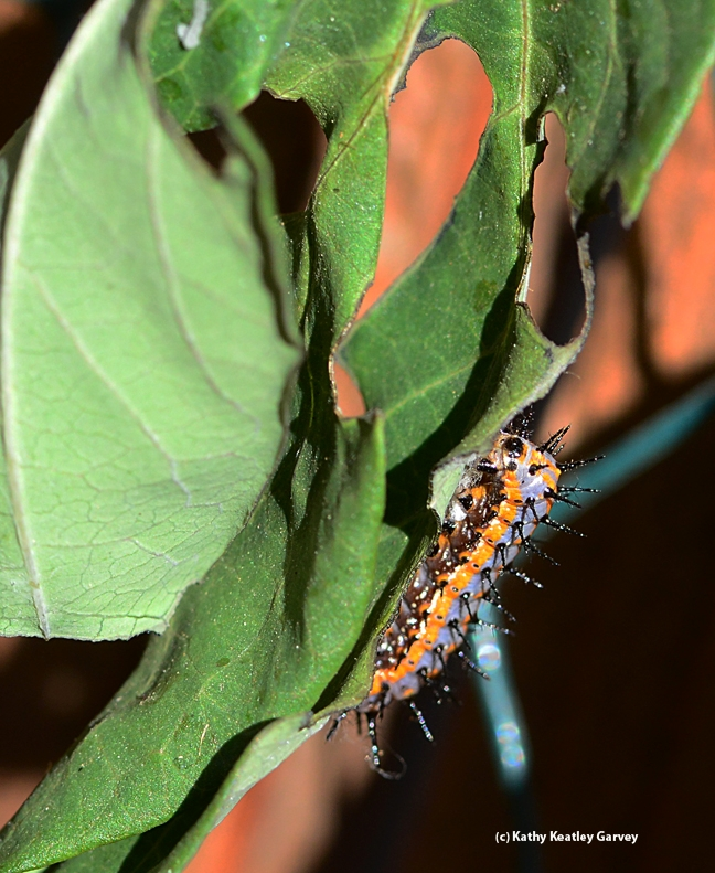 This Gulf Fritillary caterpillar survived the frost. (Photo by Kathy Keatley Garvey)