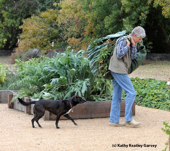 Olive faithfully follows Kris Kolb as she hauls away clippings. (Photo by Kathy Keatley Garvey)