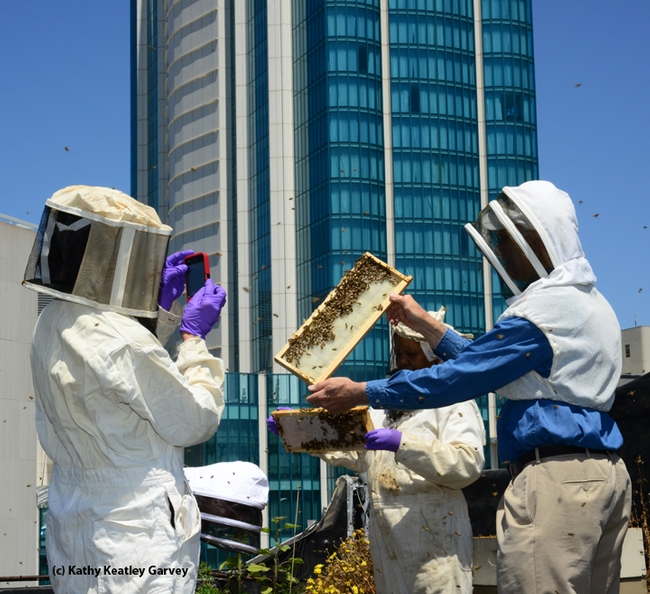 The San Francisco Chronicle engages in rooftop beekeeping and maintains two colonies and a fruit and vegetable garden. Journalists Deb Wandell and Meredith May are the beekeepers. Extension apiculturist Eric Mussen of the UC Davis Department of Entomology Nematology and Queen Turner, head of the beekeeping Section, Ministry of Agriculture, Botswana, inspected the hives last June. From left are Turner, Wandell and Mussen. (Photo by Kathy Keatley Garvey)