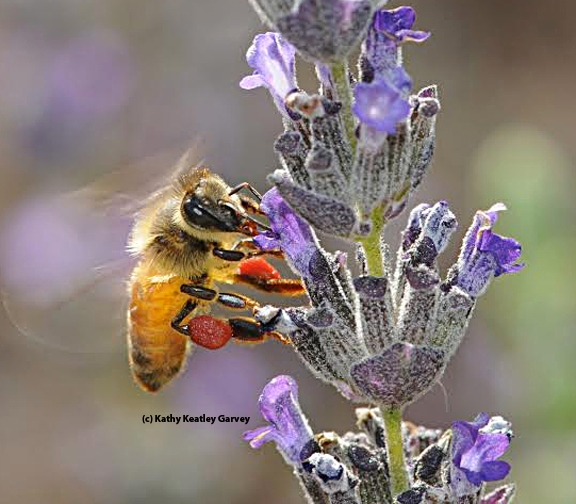 Honey bee with red pollen (from neighboring rock purslane) sipping nectar from lavender. (Photo by Kathy Keatley Garvey)