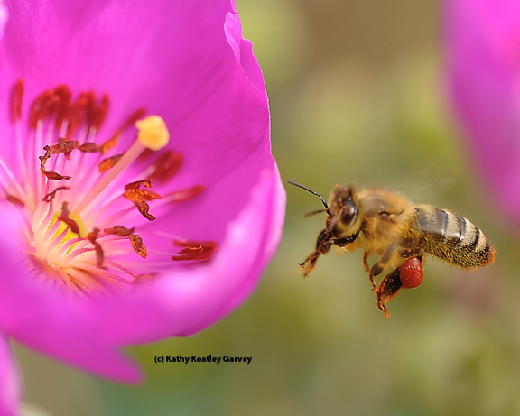 Honey bee, packing red pollen, returning to a rock purslane blossom. (Photo by Kathy Keatley Garvey)