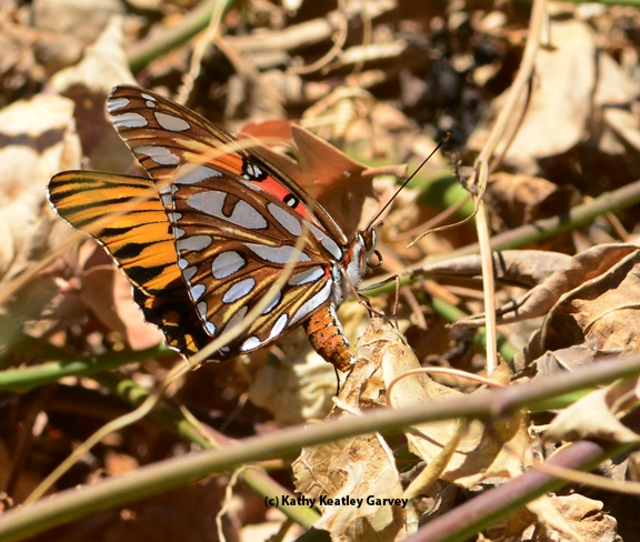 Gulf Fritillary butterfly laying an egg on Christmas Day in west Vacaville. (Photo by Kathy Keatley Garvey)