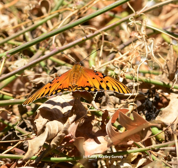 Gulf Fritillary spreading her wings. (Photo by Kathy Keatley Garvey)