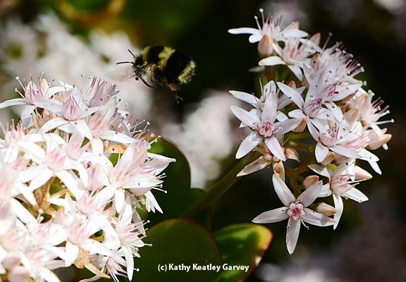 Black-tailed bumble bee targeting jade. (Photo by Kathy Keatley Garvey)