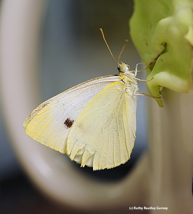 Cabbage white butterfly, Pieris rapae. (Photo by Kathy Keatley Garvey)