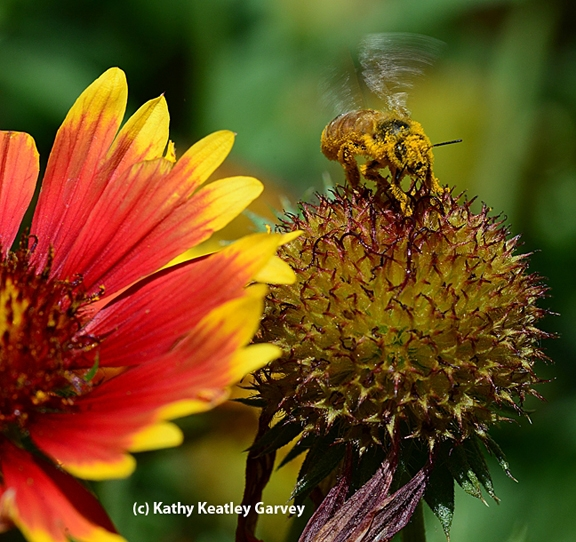 A pollen-covered honey bee ready for take-off. (Photo by Kathy Keatley Garvey)