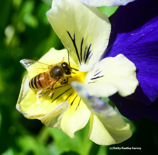 Honey bee foraging on a pansy. (Photo by Kathy Keatley Garvey)