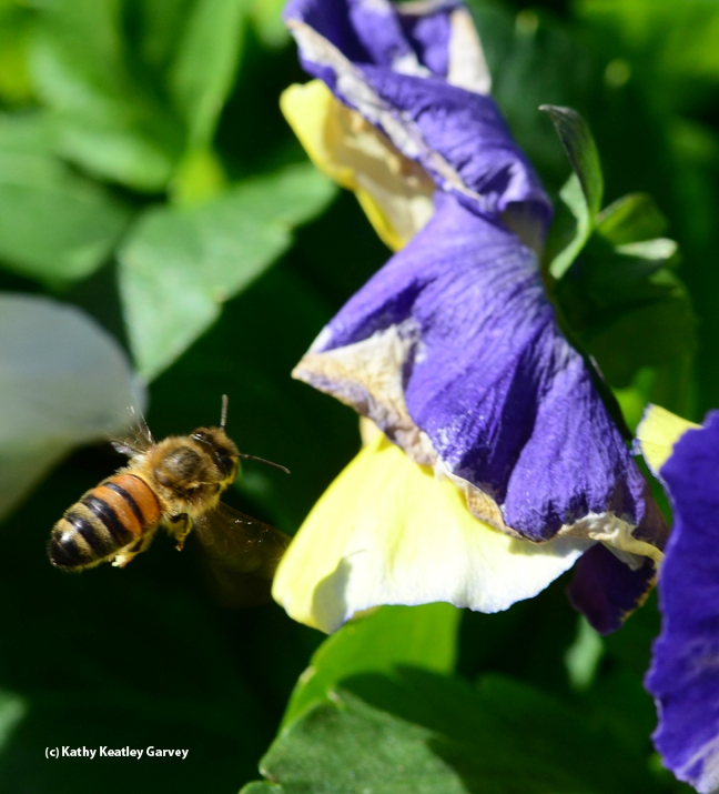 Honey bee heads toward a drooping pansy. (Photo by Kathy Keatley Garvey)
