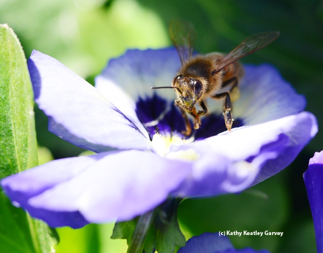 Honey bee ready for take-off. (Photo by Kathy Keatley Garvey)