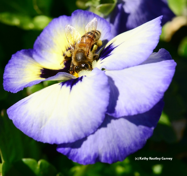 Honey bee keeps a wary eye on the photographer. (Photo by Kathy Keatley Garvey)