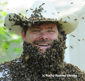 Brian Fishback's bee beard. (Photo by Kathy Keatley Garvey