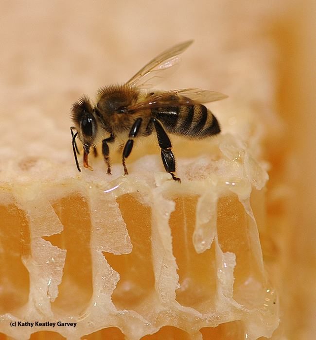 Bee on honey. (Photo by Kathy Keatley Garvey)