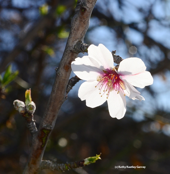 A solo almond blossom blooming Jan. 5, 2014 in Benicia. (Photo by Kathy Keatley Garvey)
